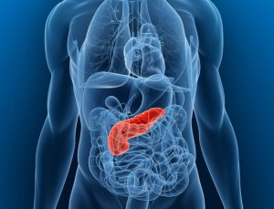 The pancreas is an important organ needed to digest food. It is found deep in the abdomen under the stomach.